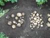 Potato20080703